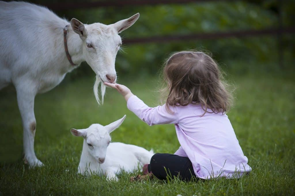 A child and two goats in a farm